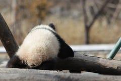 Κλείνω-επάνω χνουδωτό γιγαντιαίο Cub της Panda, Κίνα Στοκ Εικόνα