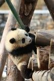 Κλείνω-επάνω χνουδωτό γιγαντιαίο Cub της Panda, Κίνα Στοκ Φωτογραφίες