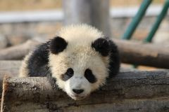 Κλείνω-επάνω χνουδωτό γιγαντιαίο Cub της Panda, Κίνα Στοκ φωτογραφία με δικαίωμα ελεύθερης χρήσης