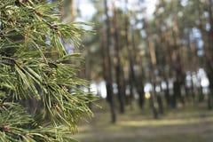 Κλείστε αυξημένος ενός δέντρου πεύκων στο δάσος με το υπόβαθρο θαμπάδων στοκ φωτογραφίες
