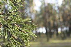 Κλείστε αυξημένος ενός δέντρου πεύκων στο δάσος με το υπόβαθρο θαμπάδων στοκ φωτογραφίες με δικαίωμα ελεύθερης χρήσης