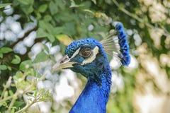 Κλείστε αυξημένος ενός κεφαλιού peacock στοκ φωτογραφία με δικαίωμα ελεύθερης χρήσης