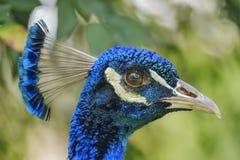 Κλείστε αυξημένος ενός κεφαλιού peacock στοκ εικόνα με δικαίωμα ελεύθερης χρήσης