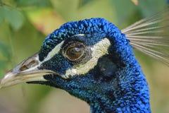 Κλείστε αυξημένος ενός κεφαλιού peacock στοκ φωτογραφίες