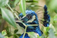 Κλείστε αυξημένος ενός κεφαλιού peacock στοκ φωτογραφία