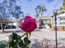 Κλείστε αυξημένος ενός κόκκινου ροδαλού άνθους μπροστά από ένα κτήριο στοκ φωτογραφία με δικαίωμα ελεύθερης χρήσης