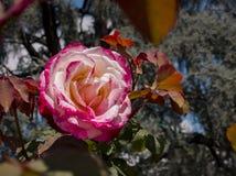 Κλείστε αυξημένος ενός κόκκινου ροδαλού άνθους στοκ φωτογραφία με δικαίωμα ελεύθερης χρήσης