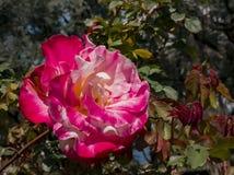 Κλείστε αυξημένος ενός κόκκινου ροδαλού άνθους στοκ φωτογραφίες