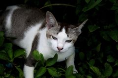 Κλείστε αυξημένος με την ταϊλανδική γκρίζα άσπρη γάτα στοκ φωτογραφία