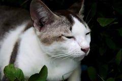 Κλείστε αυξημένος με την ταϊλανδική γκρίζα άσπρη γάτα στοκ φωτογραφία με δικαίωμα ελεύθερης χρήσης