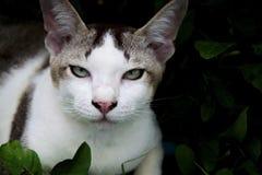 Κλείστε αυξημένος με την ταϊλανδική γκρίζα άσπρη γάτα στοκ φωτογραφίες