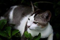 Κλείστε αυξημένος με την ταϊλανδική γκρίζα άσπρη γάτα στοκ εικόνες με δικαίωμα ελεύθερης χρήσης