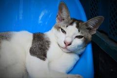 Κλείστε αυξημένος με την ταϊλανδική γκρίζα άσπρη γάτα στοκ εικόνες