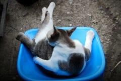 Κλείστε αυξημένος με την ταϊλανδική γκρίζα άσπρη γάτα στοκ φωτογραφίες με δικαίωμα ελεύθερης χρήσης