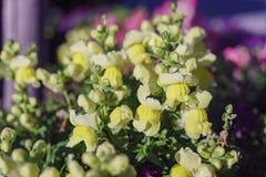 Κλείστε αυξημένος πολύ όμορφου majus Antirrhinum Στοκ φωτογραφίες με δικαίωμα ελεύθερης χρήσης