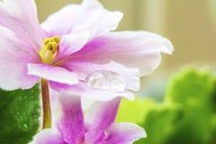 Κλείστε αυξημένος της πτώσης δροσιάς στο ιώδες πέταλο στοκ φωτογραφία με δικαίωμα ελεύθερης χρήσης