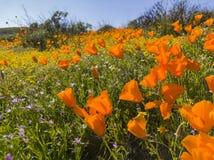 Κλείστε αυξημένος του άνθους λουλουδιών παπαρουνών στη λίμνη κοιλάδων διαμαντιών στοκ εικόνες με δικαίωμα ελεύθερης χρήσης