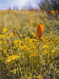Κλείστε αυξημένος του άνθους λουλουδιών παπαρουνών στη λίμνη κοιλάδων διαμαντιών στοκ εικόνα με δικαίωμα ελεύθερης χρήσης