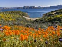 Κλείστε αυξημένος του άνθους λουλουδιών παπαρουνών στη λίμνη κοιλάδων διαμαντιών στοκ φωτογραφίες με δικαίωμα ελεύθερης χρήσης