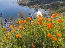 Κλείστε αυξημένος του άνθους λουλουδιών παπαρουνών στη λίμνη κοιλάδων διαμαντιών στοκ φωτογραφία με δικαίωμα ελεύθερης χρήσης