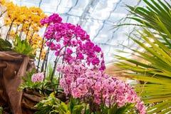 Κλείστε αυξημένος του όμορφου άνθους Phalaenopsis στοκ φωτογραφία με δικαίωμα ελεύθερης χρήσης