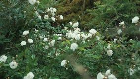 Κλείστε αυξημένος των ροδαλών οφθαλμών, τα άσπρα λουλούδια είναι σε έναν πράσινο θάμνο στον κήπο φιλμ μικρού μήκους