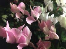 Κλείστε αυξημένος των ρόδινων και άσπρων λουλουδιών στοκ εικόνα