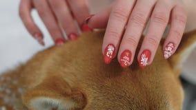 Κλείστε αυξημένος των χεριών μιας γυναίκας, που σιδερώνουν μια τρίχα σκυλιών ` s, μια κυρία έκανε ένα μανικιούρ με snowflakes απόθεμα βίντεο