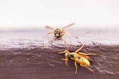 Κλείστε αυξημένος hornets Στοκ φωτογραφία με δικαίωμα ελεύθερης χρήσης
