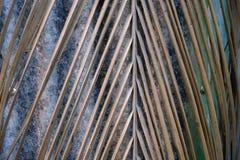 Κλείστε επάνω ένα ξηρό τροπικό φύλλο καρύδων που κρεμά από ένα δέντρο στοκ φωτογραφίες με δικαίωμα ελεύθερης χρήσης