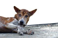 Κλείστε επάνω ένα πρόσωπο του ταϊλανδικού σκυλιού δύο τόνων βάζοντας στο βρώμικο ισόγειο τσιμέντου στοκ φωτογραφίες με δικαίωμα ελεύθερης χρήσης