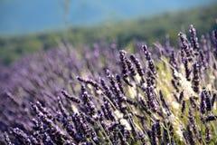 Κλείστε επάνω ανθίζοντας lavenders σε έναν τομέα, σε ένα πράσινο και μπλε θολωμένο υπόβαθρο Στοκ Εικόνες