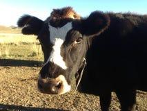 Κλείστε επάνω από μια αγελάδα Στοκ εικόνα με δικαίωμα ελεύθερης χρήσης
