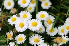 Κλείστε επάνω από τα daisys στοκ εικόνες