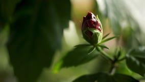 Κλείστε επάνω γιατί κλειστός κόκκινος αυξήθηκε οφθαλμός και πράσινα πέταλα, ομορφιά της φύσης r Όμορφος αυξήθηκε λουλούδι απόθεμα βίντεο