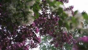 Κλείστε επάνω για τα ανθίζοντας άσπρα και ρόδινα δέντρα μηλιάς, χρόνος φύσης την άνοιξη Μήκος σε πόδηα αποθεμάτων Όμορφοι οφθαλμο απόθεμα βίντεο