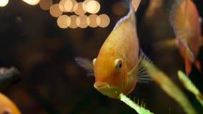 Κλείστε επάνω για το goldfish στο ενυδρείο με τις πράσινες εγκαταστάσεις, έννοια κατοικίδιων ζώων Πλαίσιο Όμορφα χρυσά ψάρια που  απόθεμα βίντεο