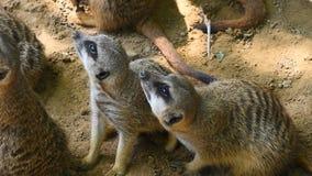 Κλείστε επάνω δύο meerkats επάνω προειδοποιημένος απόθεμα βίντεο