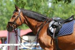 Κλείστε επάνω ενός αλόγου λιμένων κατά τη διάρκεια του ανταγωνισμού κάτω από τη σέλα υπαίθρια στοκ εικόνες με δικαίωμα ελεύθερης χρήσης