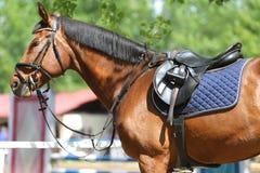 Κλείστε επάνω ενός αλόγου λιμένων κατά τη διάρκεια του ανταγωνισμού κάτω από τη σέλα υπαίθρια στοκ εικόνες