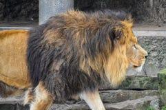 Κλείστε επάνω ενός αρσενικού περπατήματος λιονταριών Στοκ φωτογραφία με δικαίωμα ελεύθερης χρήσης