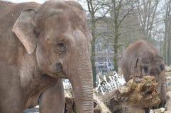 Κλείστε επάνω ενός ελέφαντα στο ζωολογικό κήπο Άμστερνταμ Artis τις Κάτω Χώρες Στοκ εικόνα με δικαίωμα ελεύθερης χρήσης
