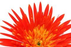 Κλείστε επάνω ενός λουλουδιού gerbera Στοκ Εικόνες