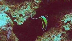 Κλείστε επάνω ενός μαυριτανικού ειδώλου που κολυμπά στο PNG απόθεμα βίντεο