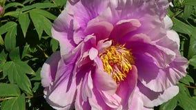 Κλείστε επάνω ενός ροζ peony rhododendron των ανθών στον κήπο το καλοκαίρι 4k κινηματογράφος απόθεμα βίντεο