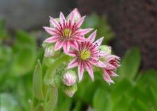 Κλείστε επάνω ενός ρόδινου λουλουδιού ενός ανθίζοντας κοινού houseleek Στοκ φωτογραφία με δικαίωμα ελεύθερης χρήσης