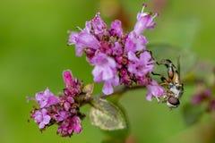 Κλείστε επάνω ενός Hoverfly συλλέγοντας το νέκταρ από ένα πορφυρό λουλούδι, παρόμοιος με ένα Neputa Nuda με ένα θολωμένο υπόβαθρο στοκ εικόνες με δικαίωμα ελεύθερης χρήσης