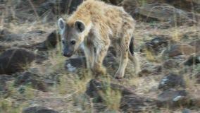Κλείστε επάνω ενός hyena περπατώντας mara masai στο εθνικό πάρκο, Κένυα φιλμ μικρού μήκους