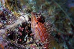 Κλείστε επάνω ενός Longnose typus Oxycirrhites hawkfish στοκ εικόνα
