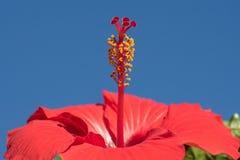 Κλείστε επάνω κόκκινα hibiscus κάτω από το μπλε ουρανό Στοκ φωτογραφίες με δικαίωμα ελεύθερης χρήσης